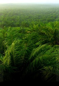 OilPalm_canopy_view